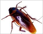 德国小蠊,小蟑螂