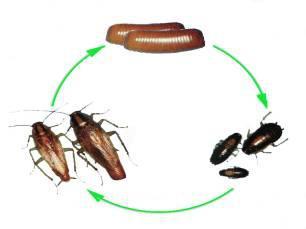 蟑螂的生活史